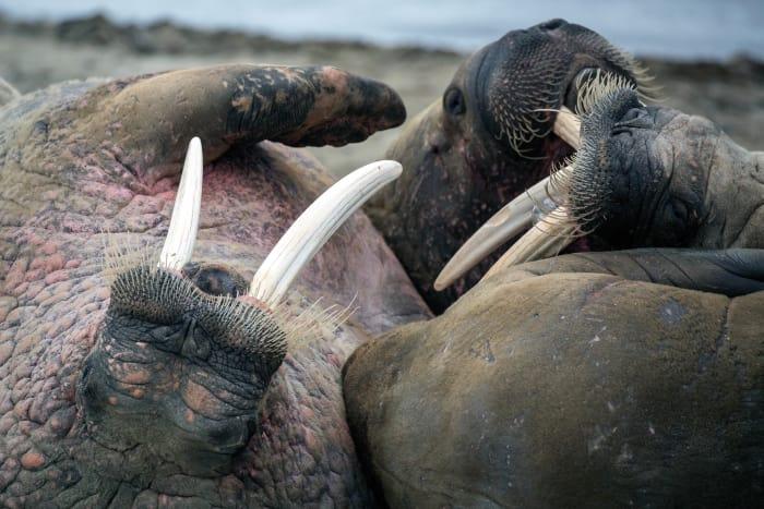 Walruses a-plenty