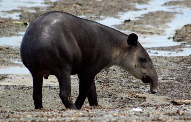 Carmody-tapir