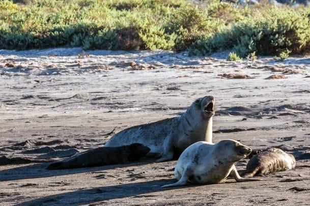 05a-Elephant-seals-and-pups