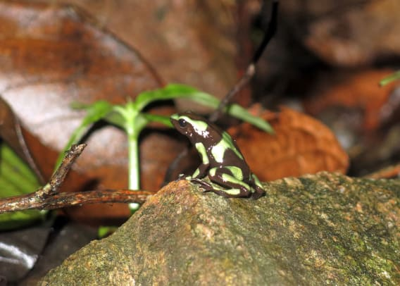 Carmody----dart-frog