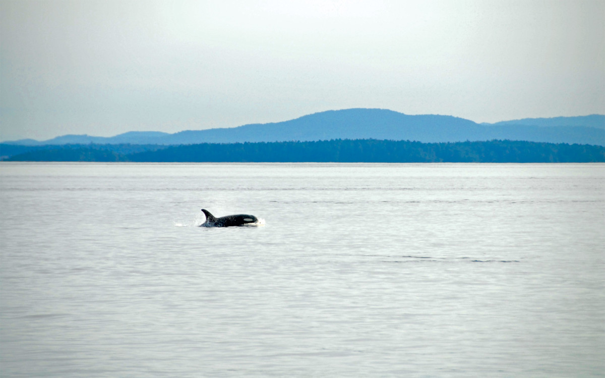 Orcas breach on our way to South Pender Island