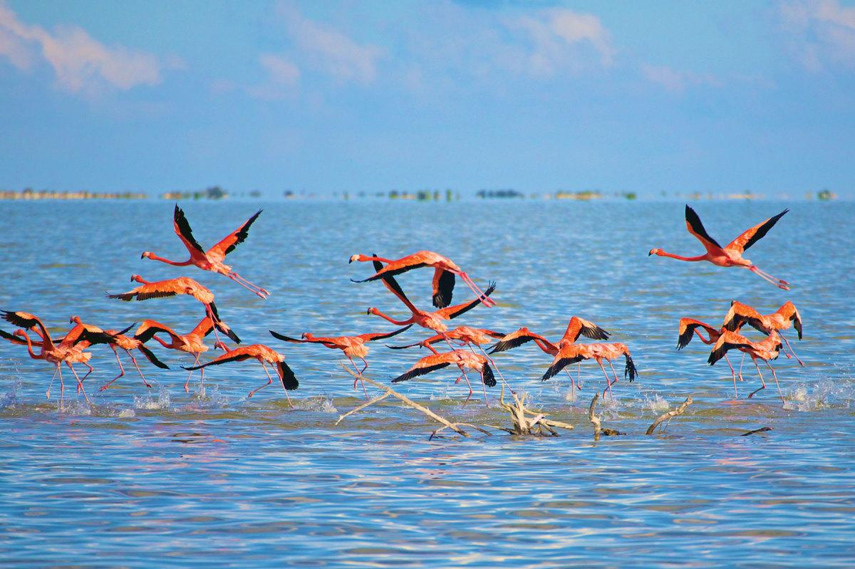 Flamingos on Lake Windsor, Great Inagua