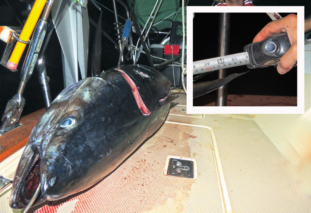 Monster at Midnight. Measuring the fish was almost as exciting as catching it (inset)