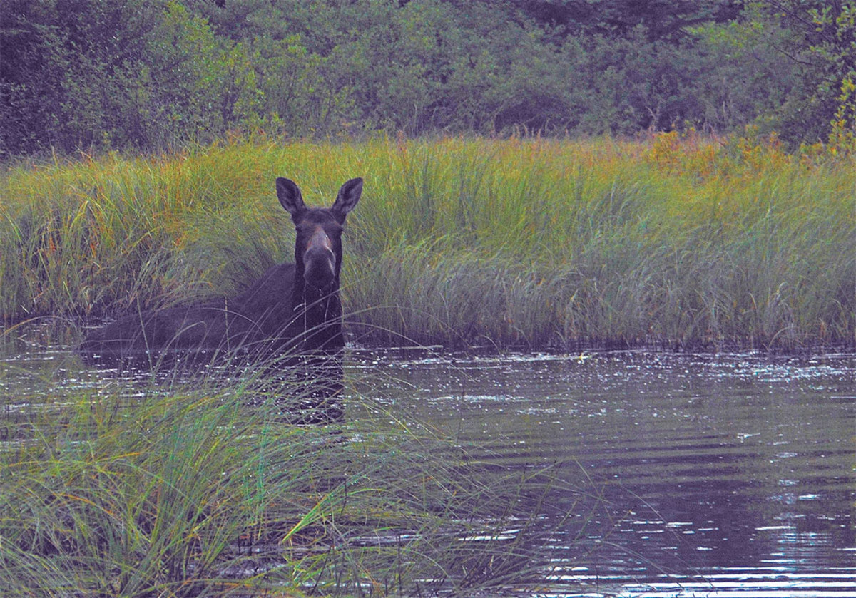A moose encounter in Duncan Bay