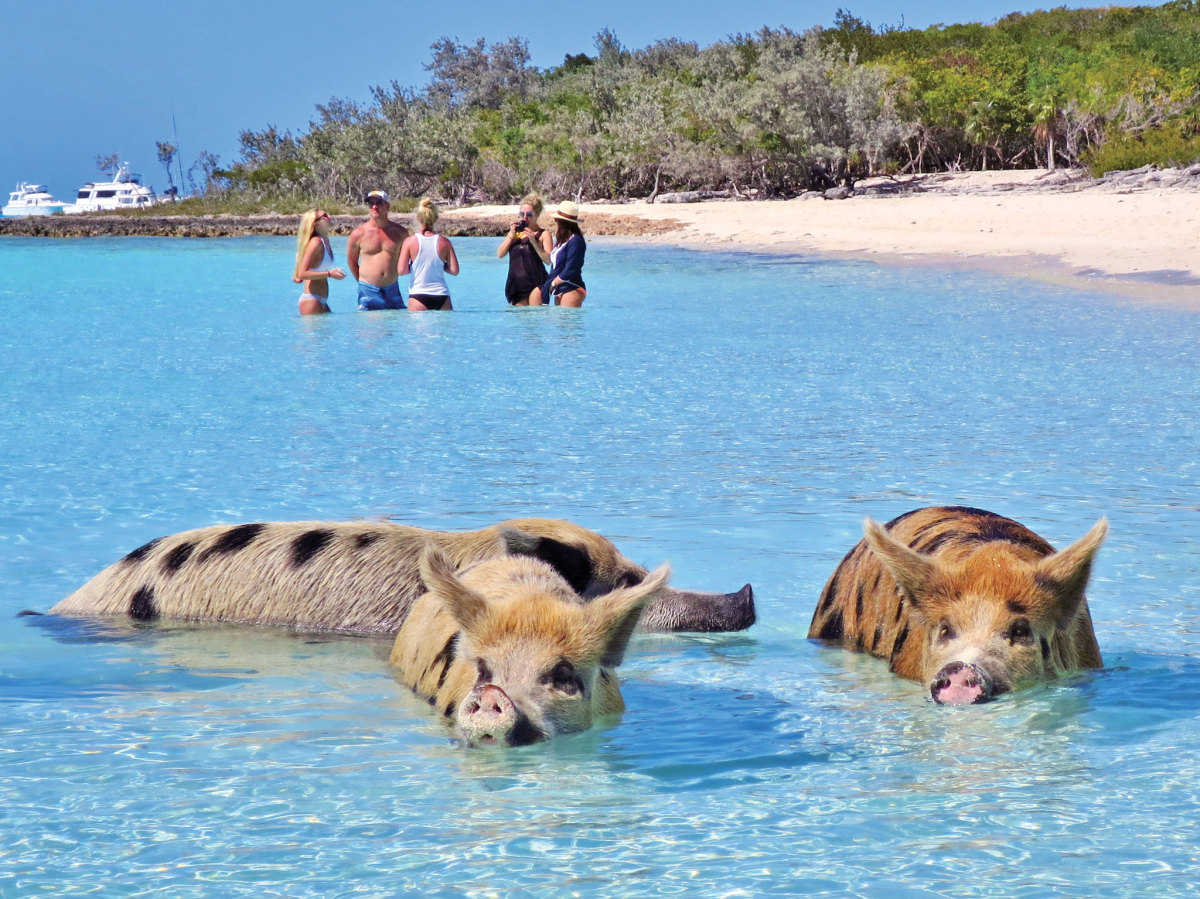 The swimming pigs of Big Major Cay have become the most popular tourist attraction in the Exumas