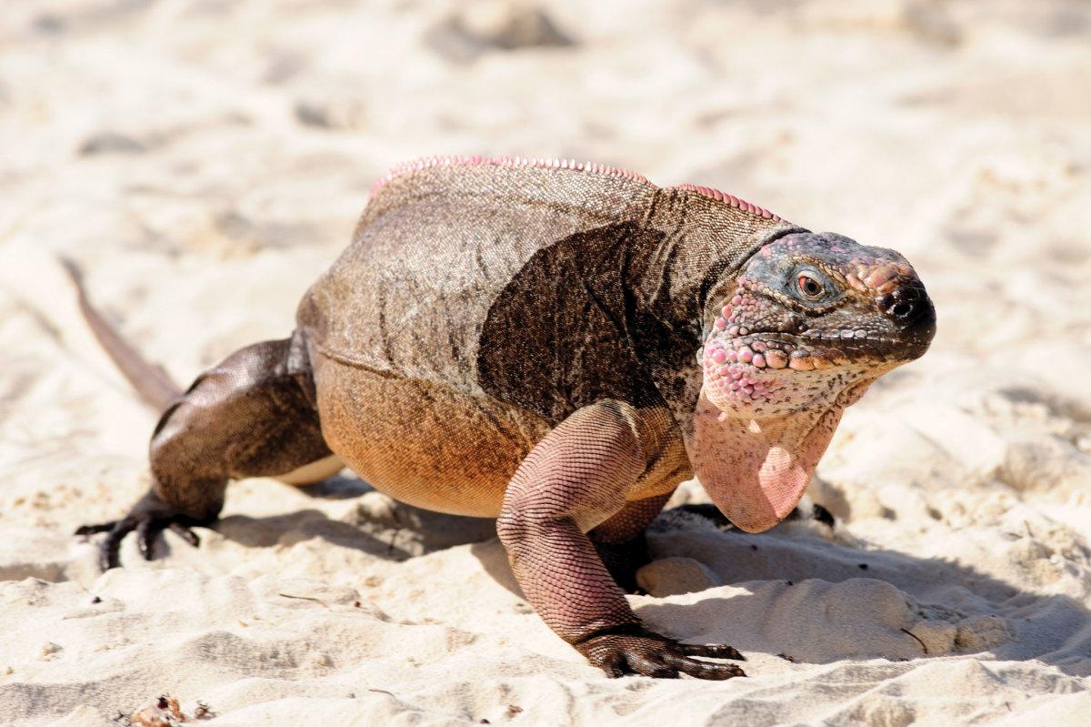 A rare Exuma Islands iguana