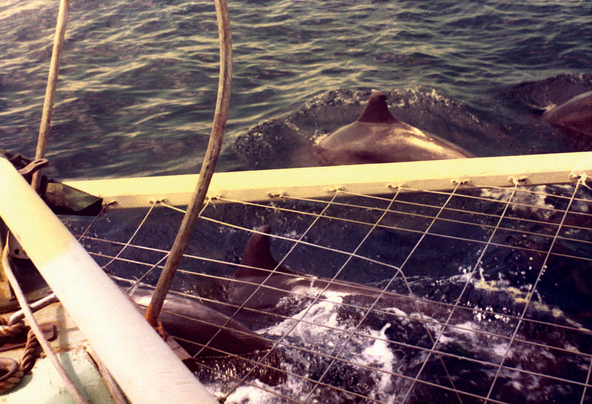 Dolphins are a common sight in the Indian Ocean
