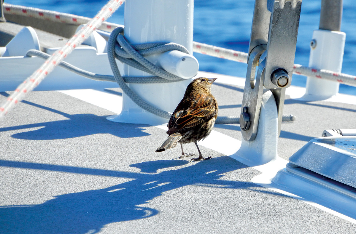 One of the author's feathered friends takes a break on the foredeck of his current boat